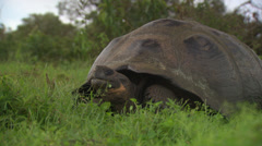 A Galápagos giant tortoise sitting in high grass, chewing on some grass. Stock Footage