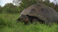 Stock Video Footage of A Galápagos giant tortoise sitting in high grass, chewing on some grass.