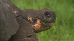 Close up of the head of a Galápagos giant tortoise sitting in the grass. Stock Footage