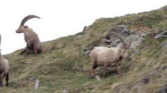 Ibexes are walking and feeding Stock Footage