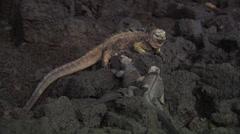 Three Galápagos marine Iguanas sitting on rocks near the sea. Stock Footage