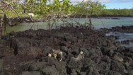 Stock Video Footage of Three Galápagos marine Iguanas/Red crabs sitting on rocks near the sea