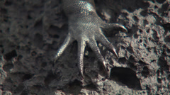 Close up of the paws of a Galapagos land Iguana. Stock Footage