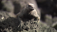 Close up of the head of a Galápagos land Iguana. Stock Footage
