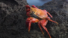 A Grapsus Grapsus crab walking over rocks near the sea. Stock Footage