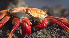 Close up of a Grapsus Grapsus crab sitting on a rock near the sea. Stock Footage