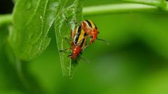 Three-lined Potato Beetle (Lema daturaphila) - Mating Pair 1 Stock Footage