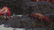 Stock Video Footage of Several Grapsus crabs sitting on rocks near the sea.