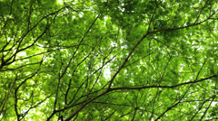 Green Japanese Maple tree Acer  Koch Sanso garden Kyoto Japan Stock Footage