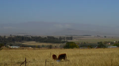 Cows Graze Against a View of the Drakensberg Mountains in South Africa Stock Footage