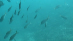 Underwater shots of a very large school of Black Striped Salema Fish. Stock Footage