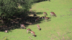 Fallow Deer hinds in harem during rut in autumn mountain forest Stock Footage