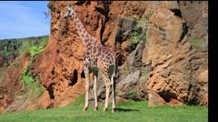 South African Giraffe,Kenya Stock Footage