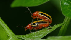 Three-lined Potato Beetle (Lema daturaphila) - Mating Pair 5 Stock Footage