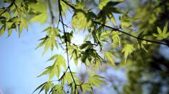 Japanese green Maple tree sun flare Koch Sanso garden Kyoto Stock Footage