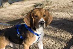 Alert beagle Stock Photos