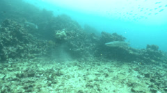 Underwater shots in a tropical sea, with several Yellowtailed Surgeonfish Stock Footage