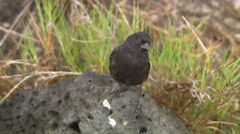 A Galapagos finch is hopping around on a rock in the grass. Stock Footage