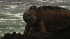 A marine Iguana is bobbing its head while sitting on a rock near the sea. Close - stock footage