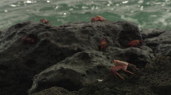 Several Sally Lightfoot crabs sitting and walking on a cliff near the sea, Stock Footage