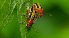 4K Three-lined Potato Beetle (Lema daturaphila) - Mating Pair 2 Stock Footage