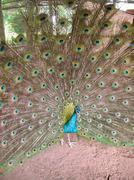 Peacock Spread Stock Photos
