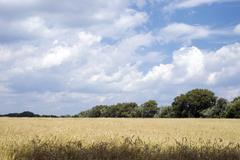 Wheaten field and the blue sky - stock photo