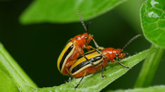 4K Three-lined Potato Beetle (Lema daturaphila) - Mating Pair 3 Stock Footage