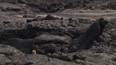 Volcanic island of the Galapagos with rocks and a small cactus Stock Footage