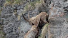 Ibexes are running and fighting in a cliff- Epic Stock Footage