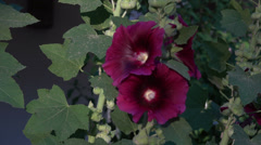 Flower Hollyhock purple HD 121 Stock Footage