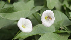 The bee and the white morning glory Stock Footage