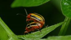 4K Three-lined Potato Beetle (Lema daturaphila) - Mating Pair 5 Stock Footage