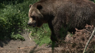 Stock Video Footage of Bear, Brown Bear, Grizzly Bear, Grizzly, 4K, UHD
