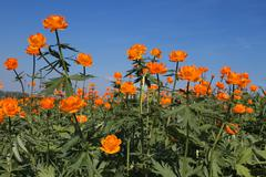 globe-flower (trollius asiaticus l) against the blue sky - stock photo