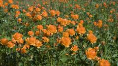 Globe-flower (trollius asiaticus l) - siberian primroses Stock Footage