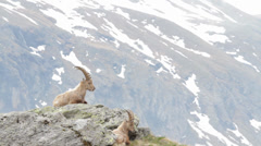 Two alpines ibexes Stock Footage