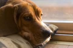 sleepy beagle - stock photo