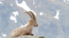 Alpine ibex is ruminating Stock Footage