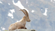 Stock Video Footage of Alpine ibex is ruminating