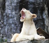 Naaras valkoinen leijona makaa kallio ja karjunta Kuvituskuvat