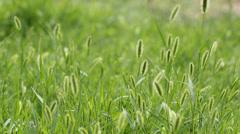 The breeze in the Setaria viridis Stock Footage