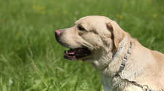 Dog of breed labrador retriever on the lawn barks. Slow motion Stock Footage