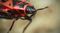 Red beetle moves their antennae Stock Footage