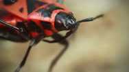 Stock Video Footage of Red beetle moves their antennae