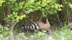 Hoopoe In the grass Dai Sheng Stock Footage