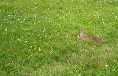 Wild Bunny Rabbit - stock photo