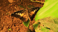 Black and orange Butterfly On A Leaf Stock Footage