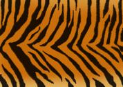 Stock Illustration of Texture for a background - a fluffy skin of a tiger