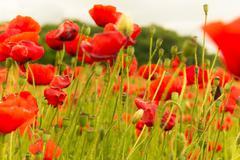 sun glare poppies - stock photo